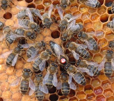 Die Belgische Biene