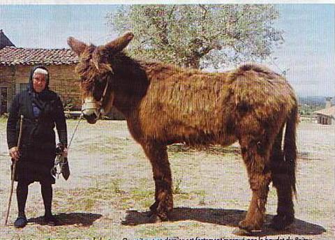 Der Poitou Esel, historische Aufnahme
