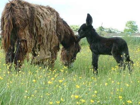 Poitou Esel Stute mit Fohlen