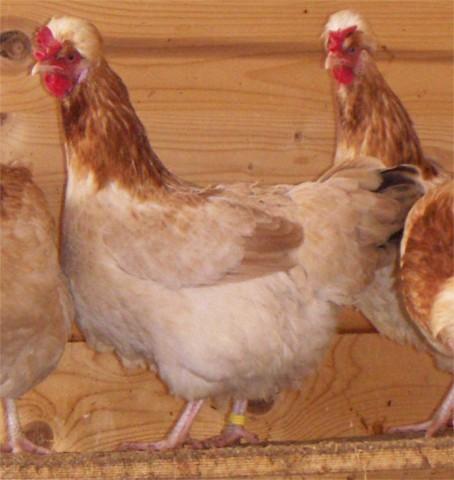 Das Sulmtaler Huhn