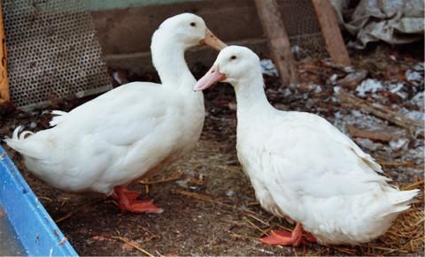 Die Aylesbury Ente
