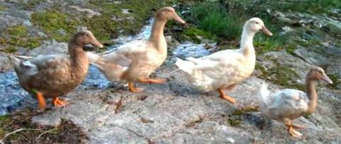 schwedische gelbe Ente