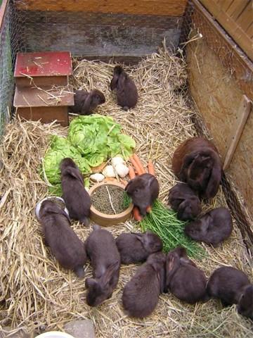 Das Meissner Widder Kaninchen
