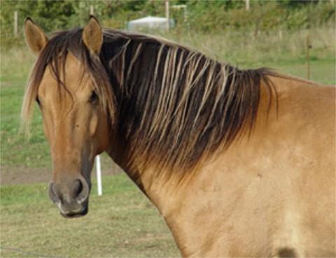 Sorraia Pferd