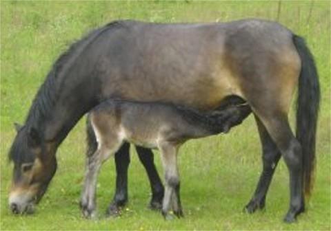 Das Exmoor Pony