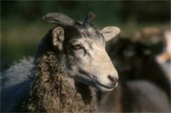 Gute Schaf / Weibliches Gute-Lamm, 3 bis 4 Monate alt