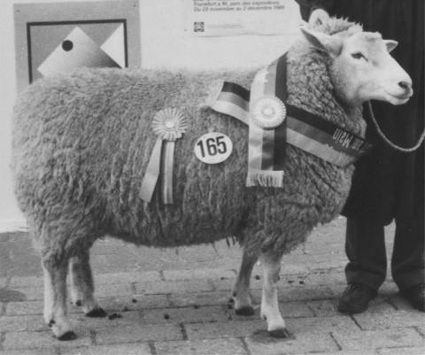 weissköpfiges Fleischschaf 1989