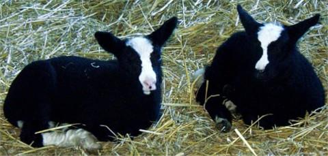 Zwartblesl�mmer 2 Wochen alt