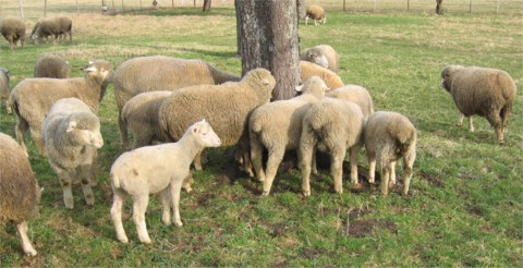 Merinofleischschaf Herde