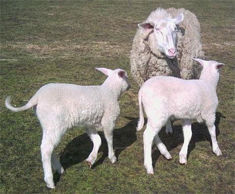 Ostfriesisches Milchschaf mit den typischen Zwillingen