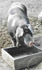 Gl�ckchen- oder Sortbroget-Schwein