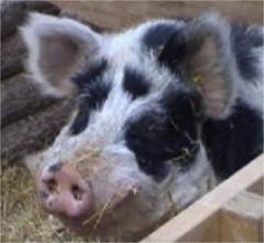 Linderödschwein, Sau