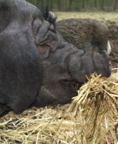 B�rge der Rasse Meishan- oder Maskenschwein