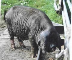 Sau der Rasse Meishan- oder Maskenschwein