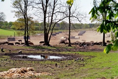 Gl�ckchen- oder Sortbroget-Schweine in Freilandhaltung von Herrn Gorm Benzon