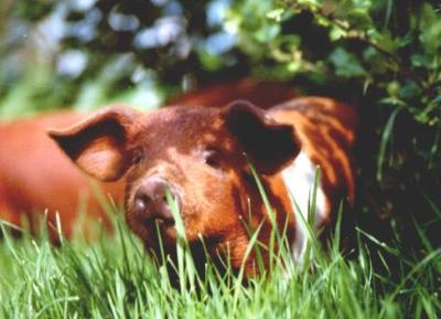 was bringen schweine