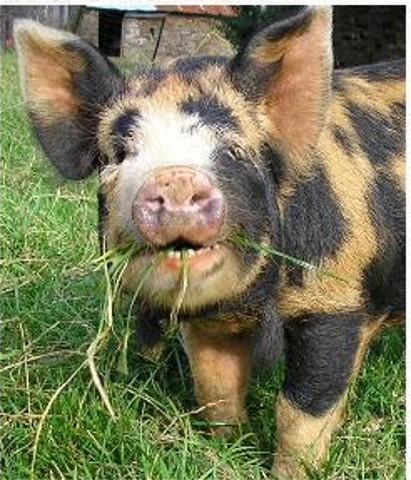 Das Kune Kune Schwein