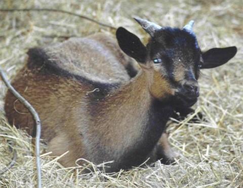 JuanFernandez Ziege (Lamm)