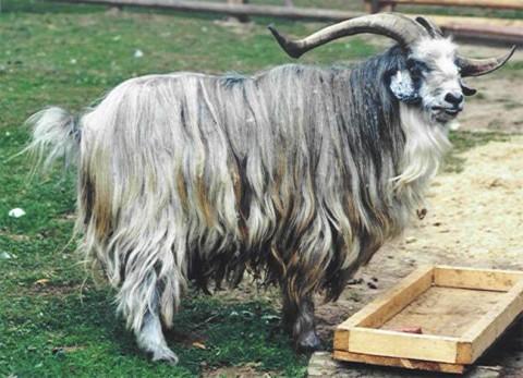 Tatschiken Ziege (Bock)